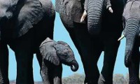 Elephants - Addo National Park