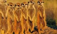 Meercats - Meercat Manor